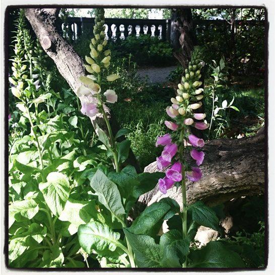 Foxglove garden